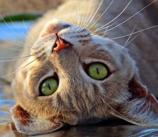 Vómito en gatos