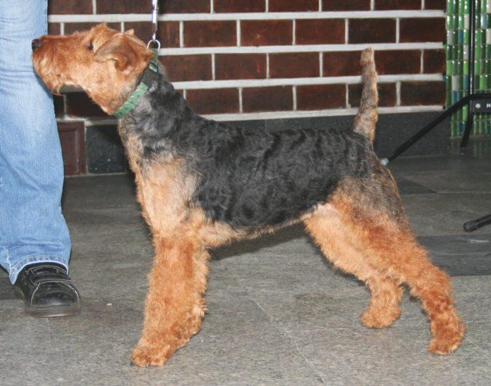 Welsh terrier o Terrier Galés