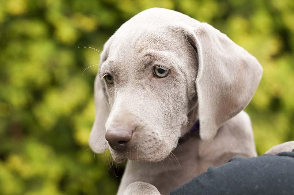 braco de Weimar cachorro