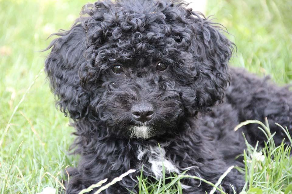 las cataratas en perros deben ser tratadas a tiempo por un veterinario