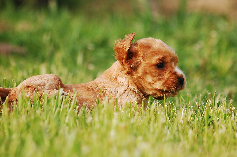 cocker spaniel inglés cachorro