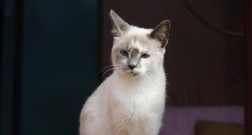 El vómito en gatos