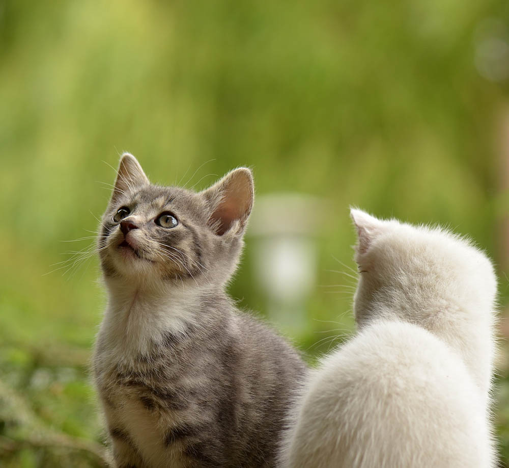 la emesis felina
