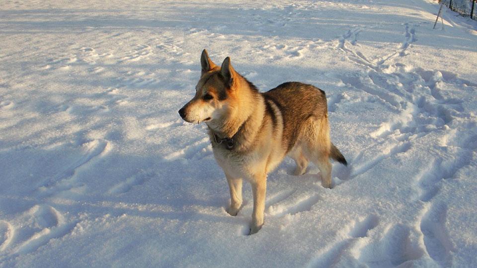 wolfdog en la nieve
