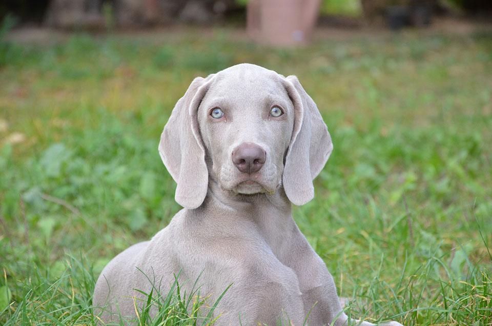 perro de ojos azules braco de Weimar