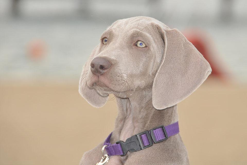 Actualmenteel Weimaraner o braco de Weimar es utilizado como perro de búsqueda y rescate