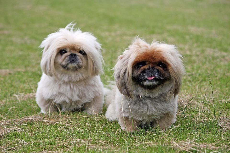 perros pequinés