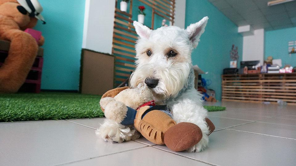 schnauzer miniatura con su juguete