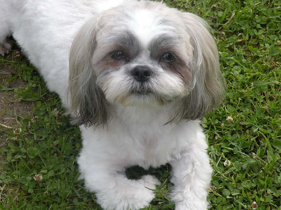 En la mayoría de casos las causas de las cataratas en perros son el resultado de un defecto heredado genéticamente