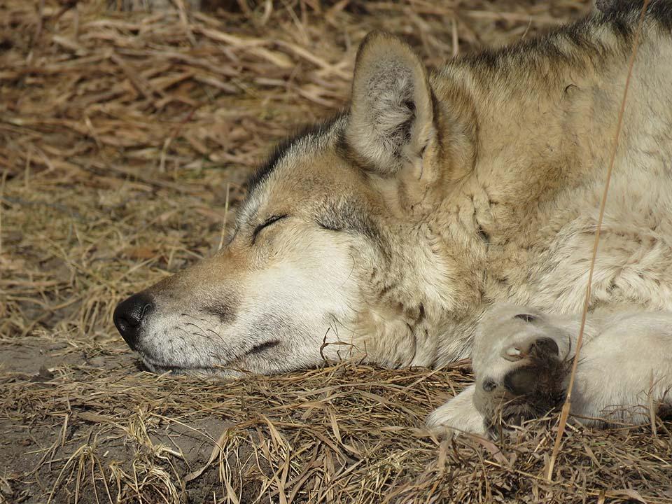wolfdog descansando