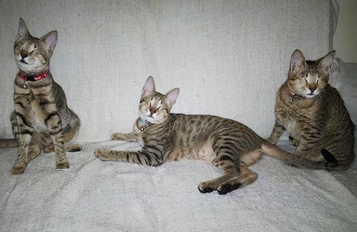 3 gatos ciegos adoptados