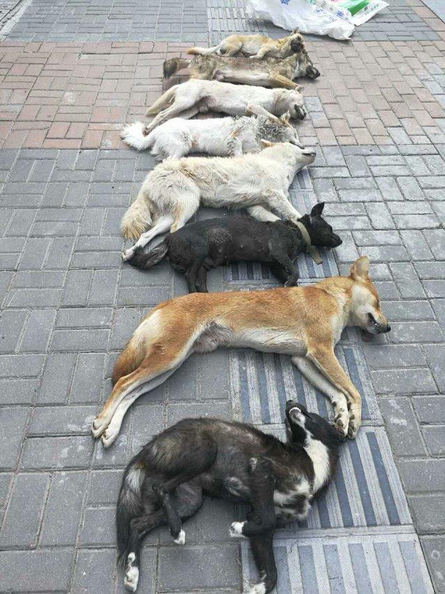 8 perro asesinados