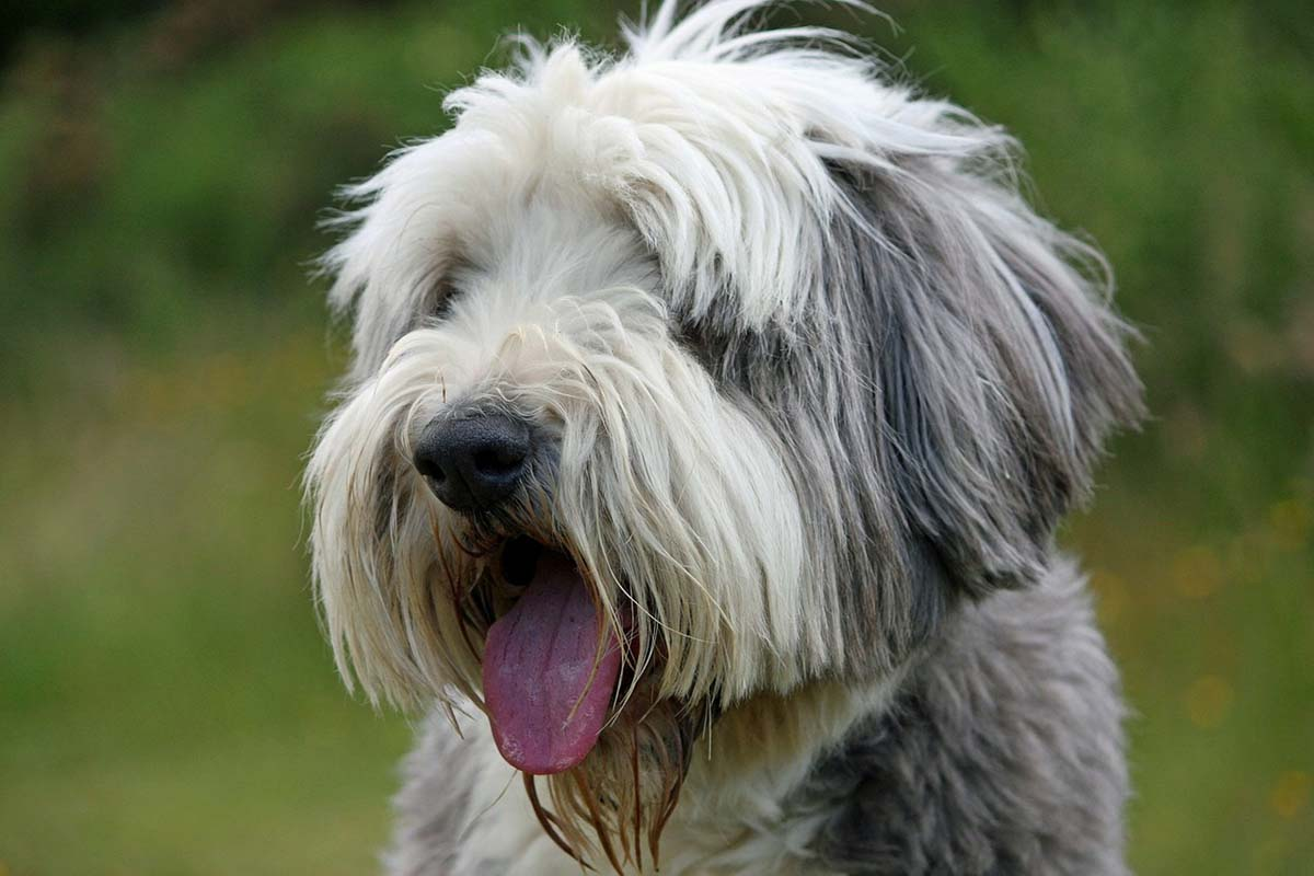 Bearded collie o collie barbudo
