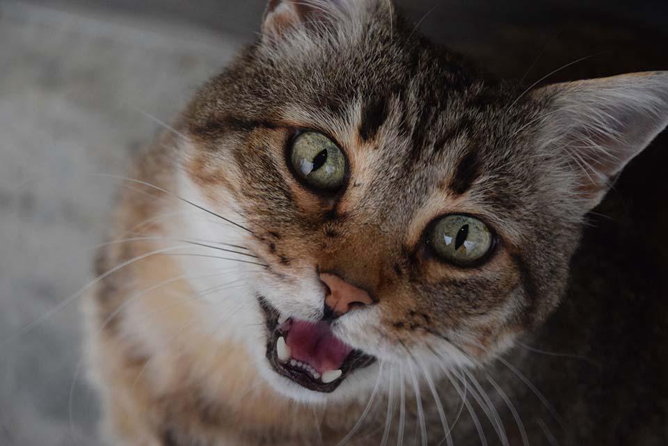 El sida felino se contagia por medio de mordeduras