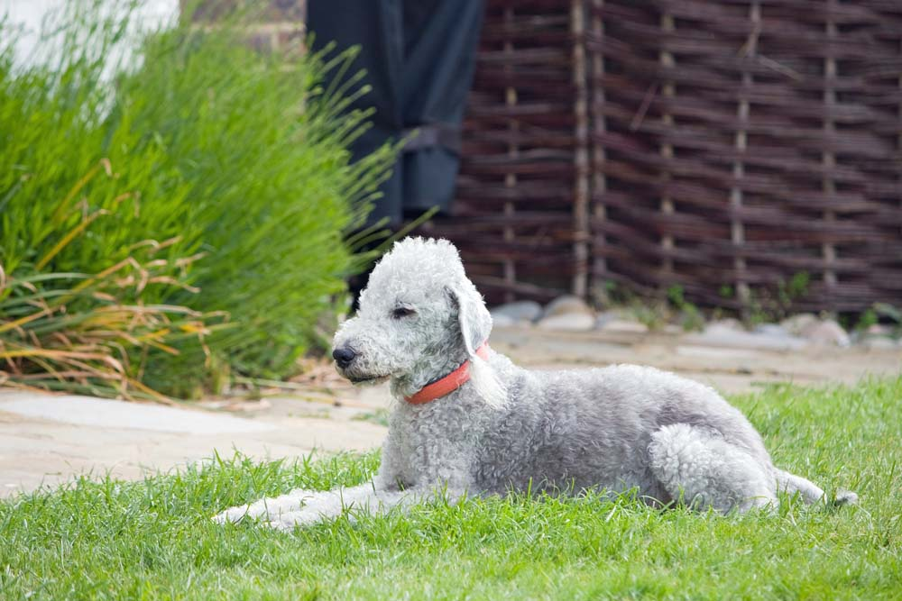 Los perros Bedlington terrier suelen vivir entre14 y 15 años