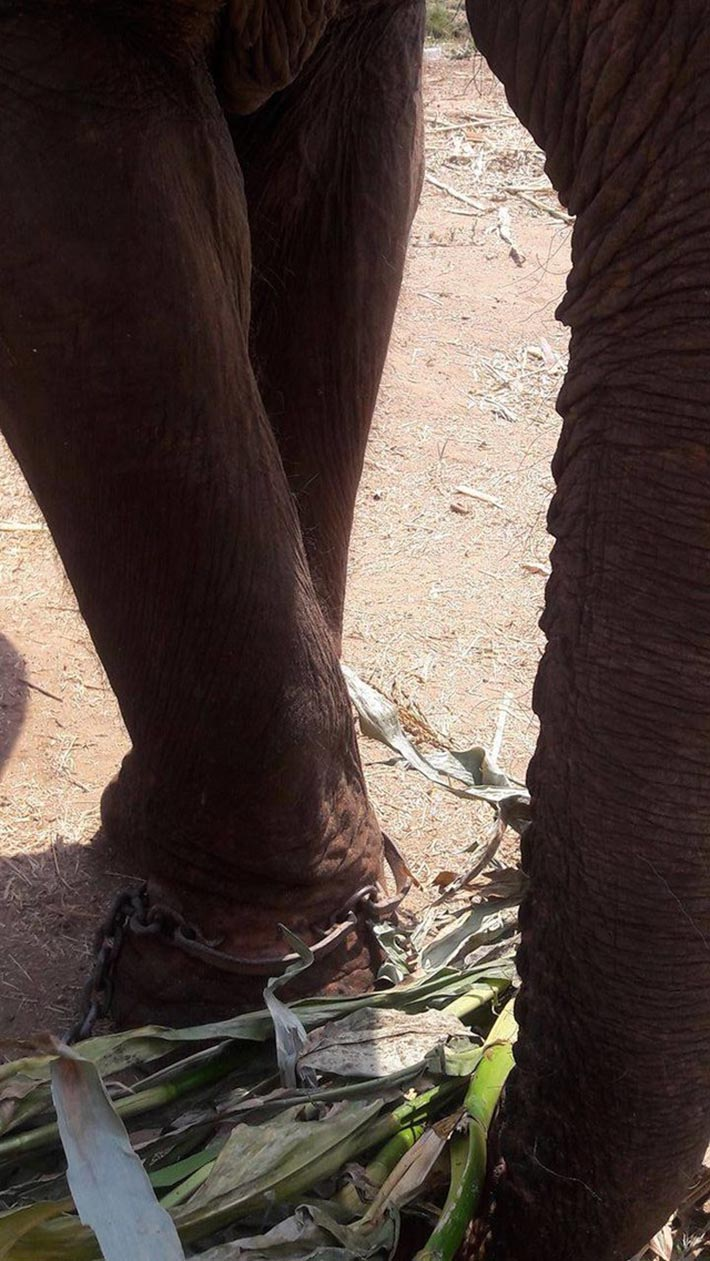 Elefante encadenado