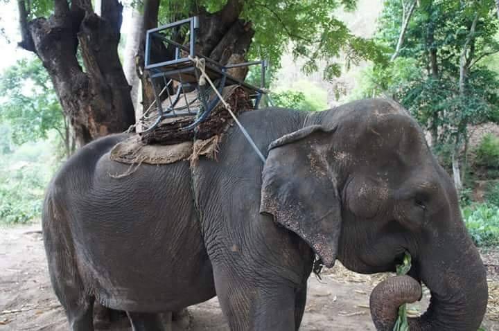 Elefante forzada a pasear a turistas