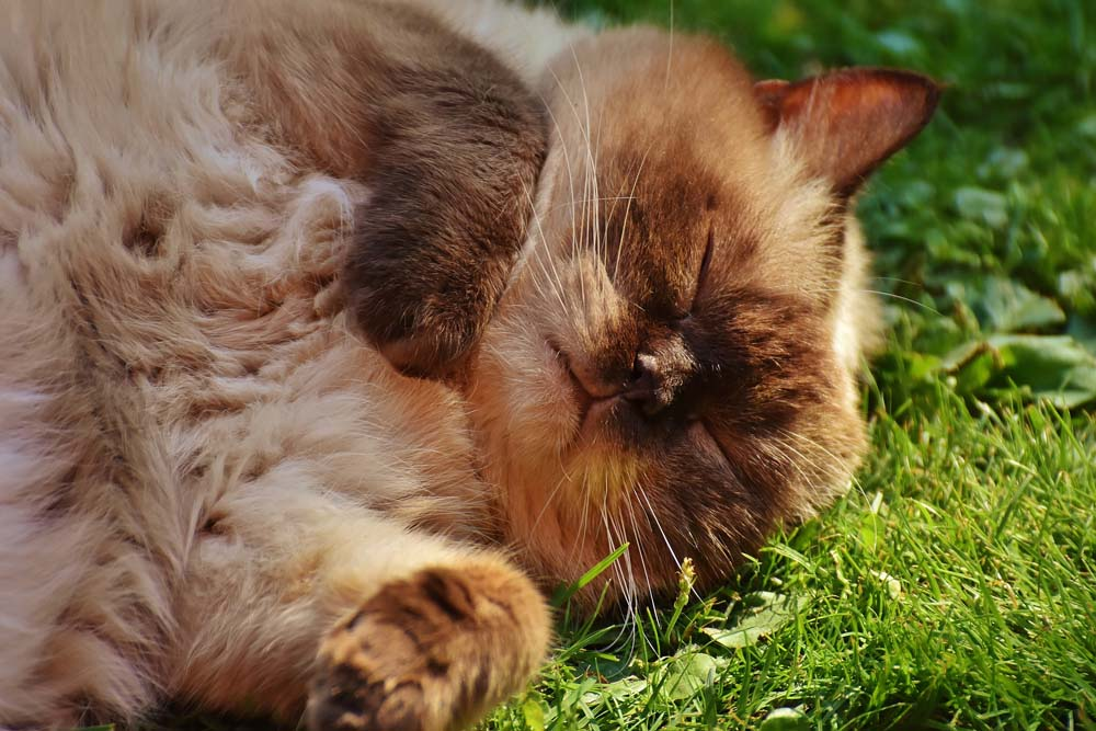 Enfermedad de otitis felina