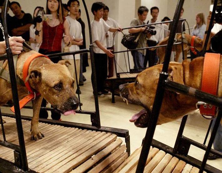 Exposición perros de pelea