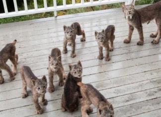 Familia de linces en el porche