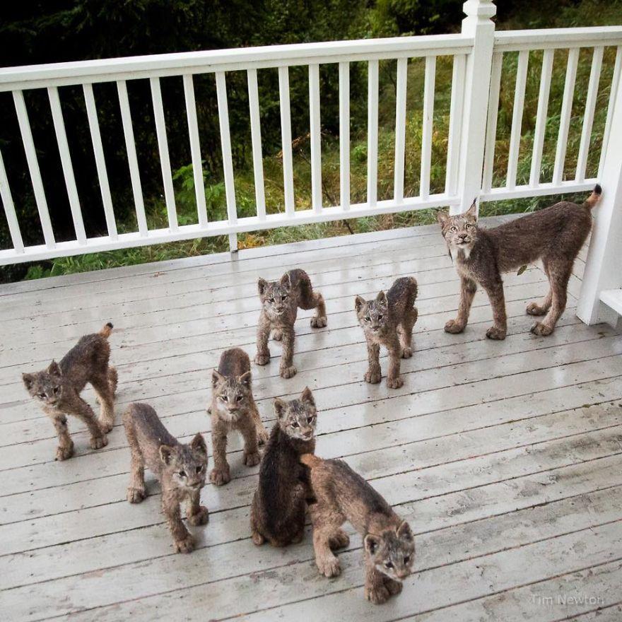 Familia de linces