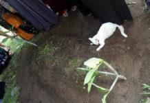 Gato blanco se rehúsa a moverse de una tumba