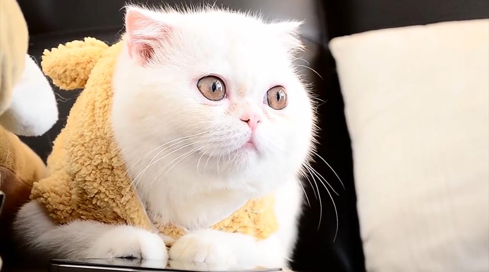 Gato con otitis