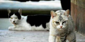 Sida felino o sida en gatos