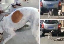 Hombre arrastra a sus perros con el auto para entrenarlos para carreras