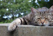 La leucemia felina