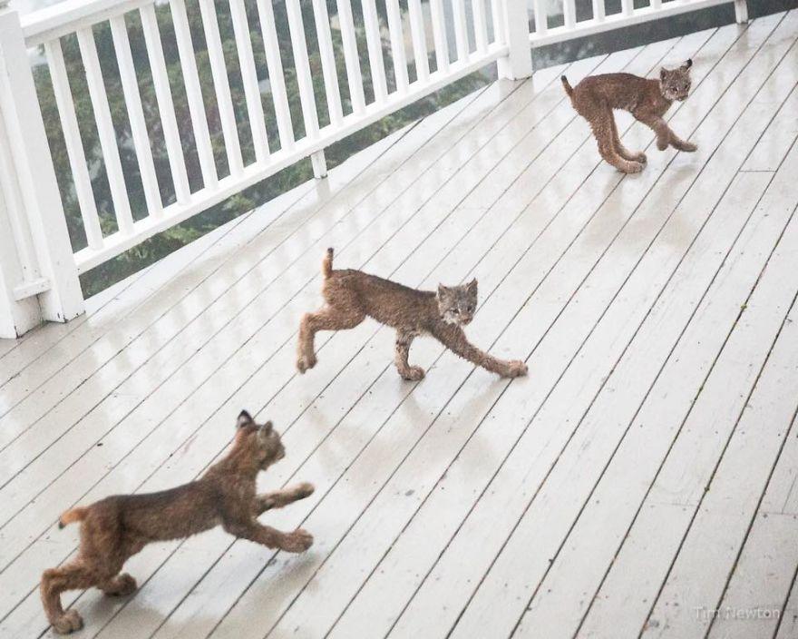 Linces jugando en la terraza