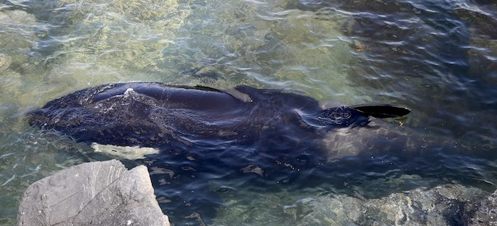 Orca rescatada