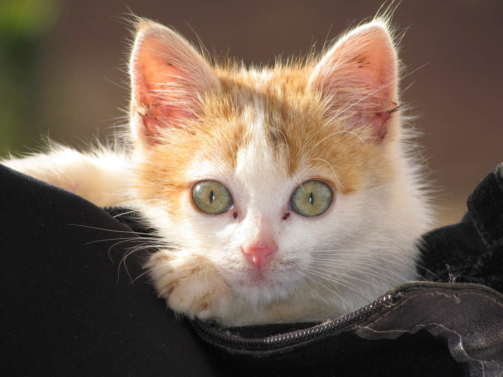 Otitis felina