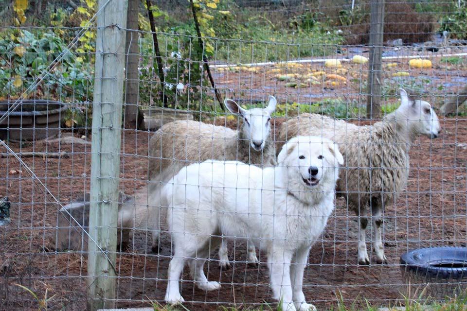 Ovejas y uno de los perros