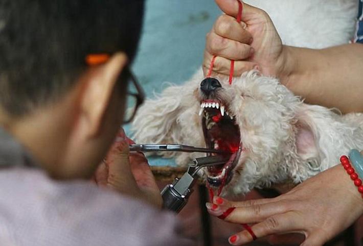 Perro operado