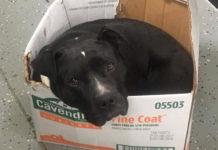 Perro rescatado duerme en caja de cartón