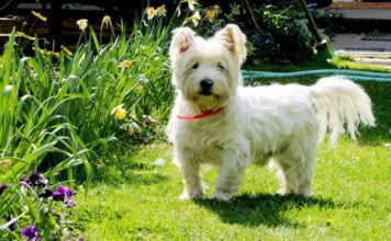 Perro west highland white terrier