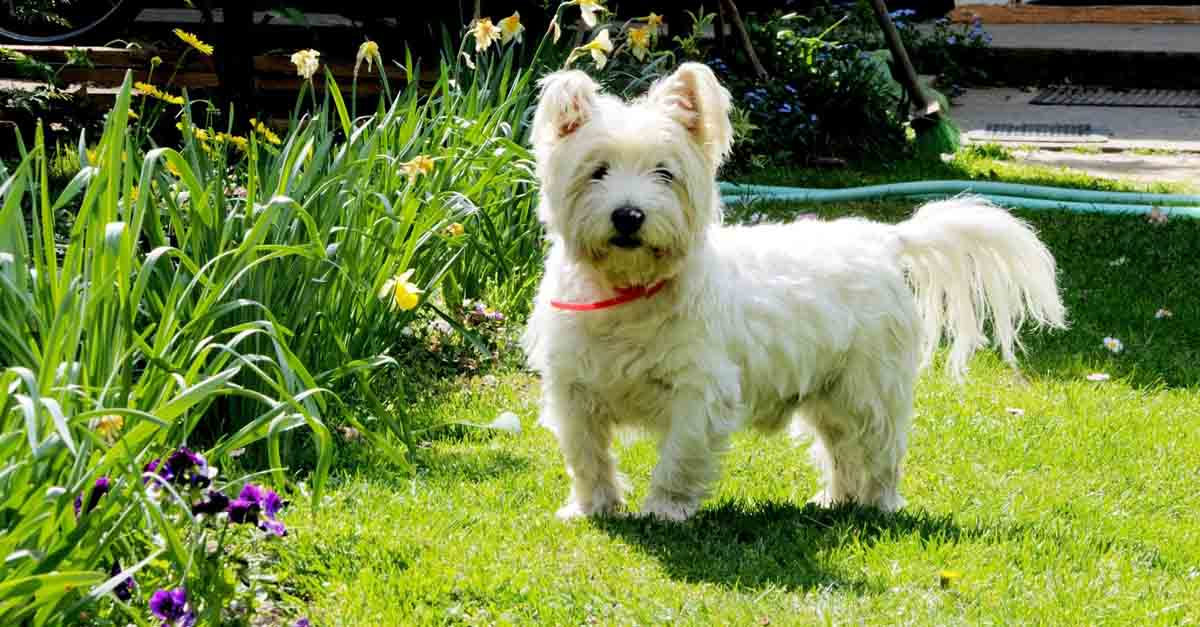 Perro west highland white terrier