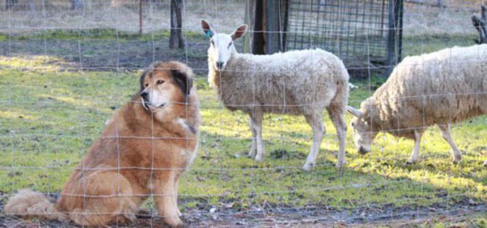 Perro y ovejas
