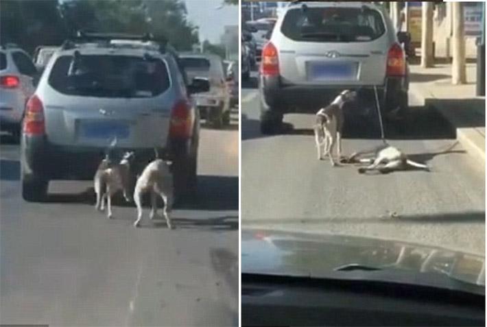 Perros arrastrados con el auto