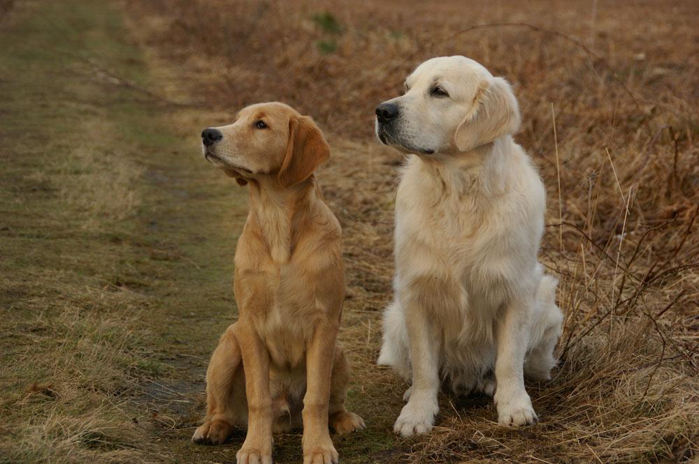 Perros con hipotiroidismo
