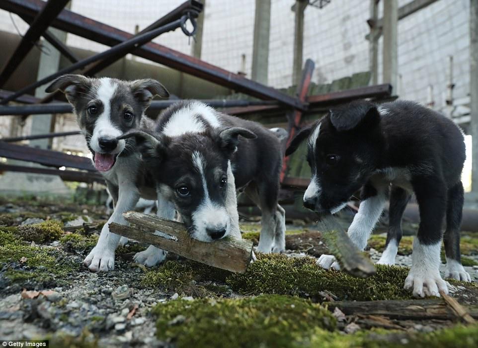 Perros en Chernóbil