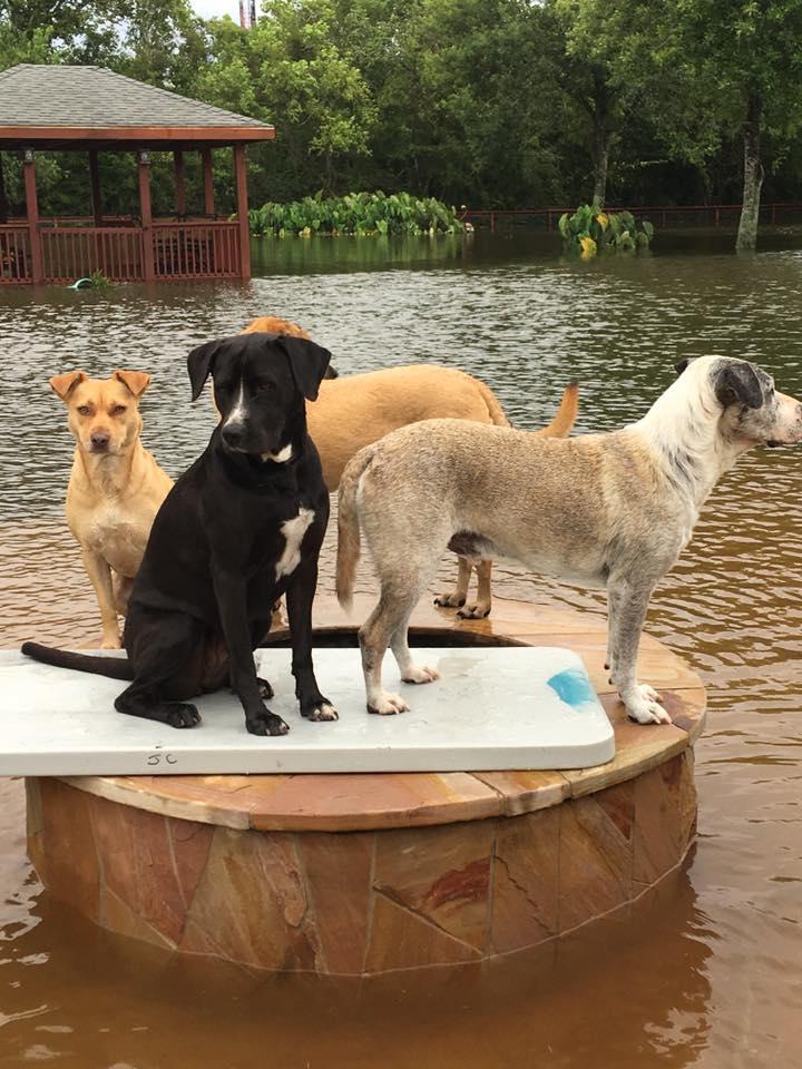 Perros en el huracán Harvey