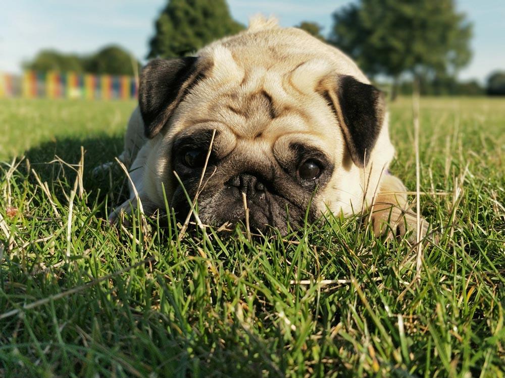Los perros braquicéfalos como el Pug sufren problemas respiratorios debido a su morfología