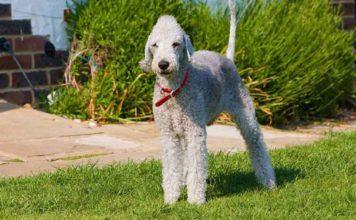 Raza bedlington terrier