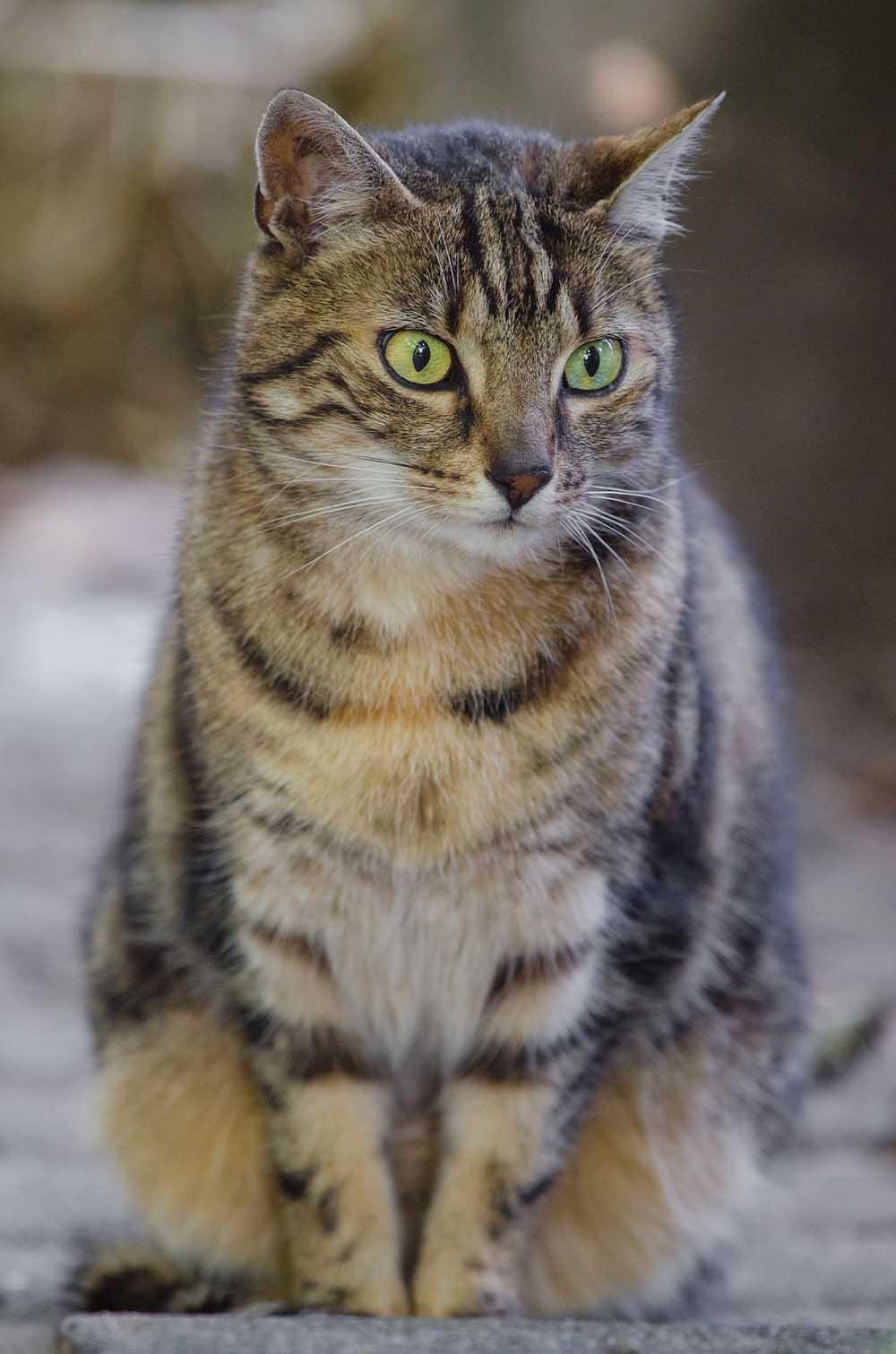 Tipos de otitis felina