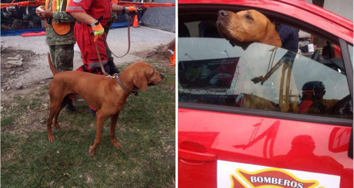 Titán perro héroe rescata personas en México
