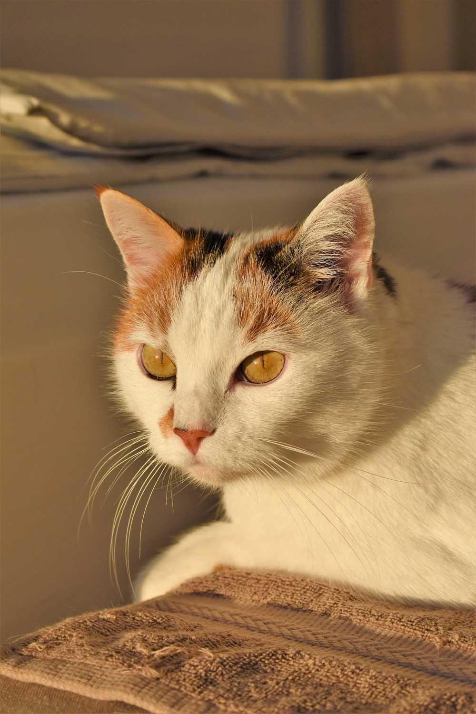 Tratamientos de la otitis felina