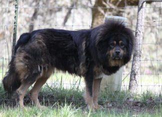 Tribunal ordena cortar las cuerdas vocales a perros