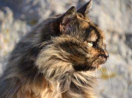 VIF Virus de inmunodeficiencia felina
